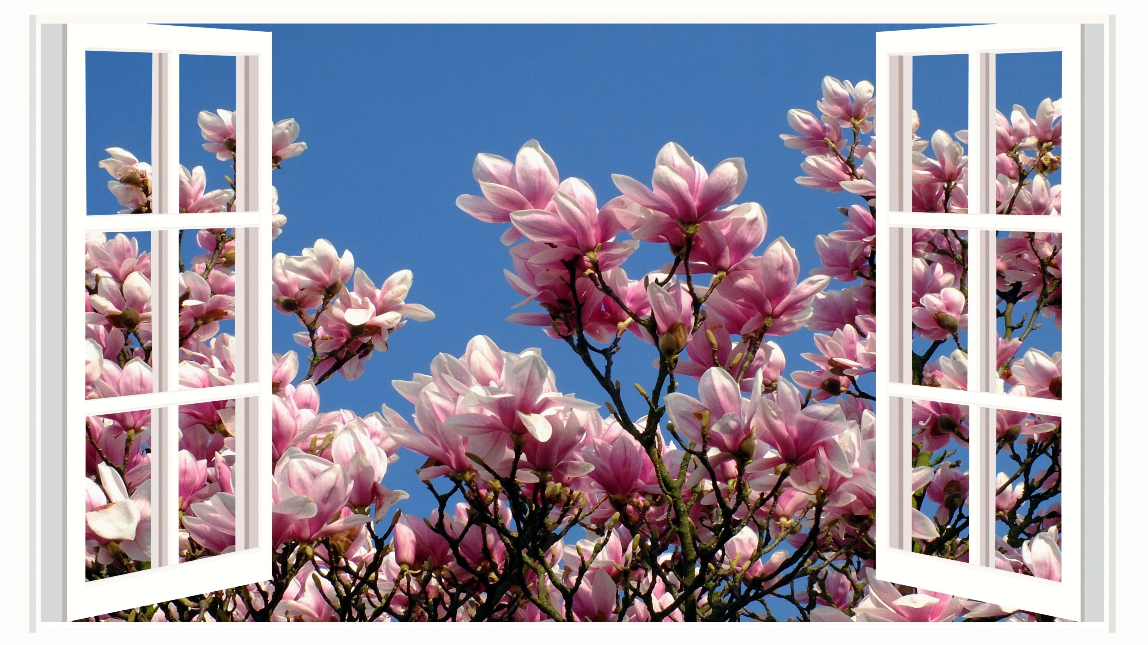 Magnolien Bilder Kostenlos