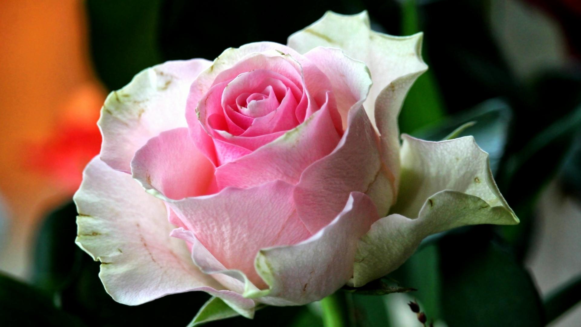 Schöne Rosenbilder Gratis