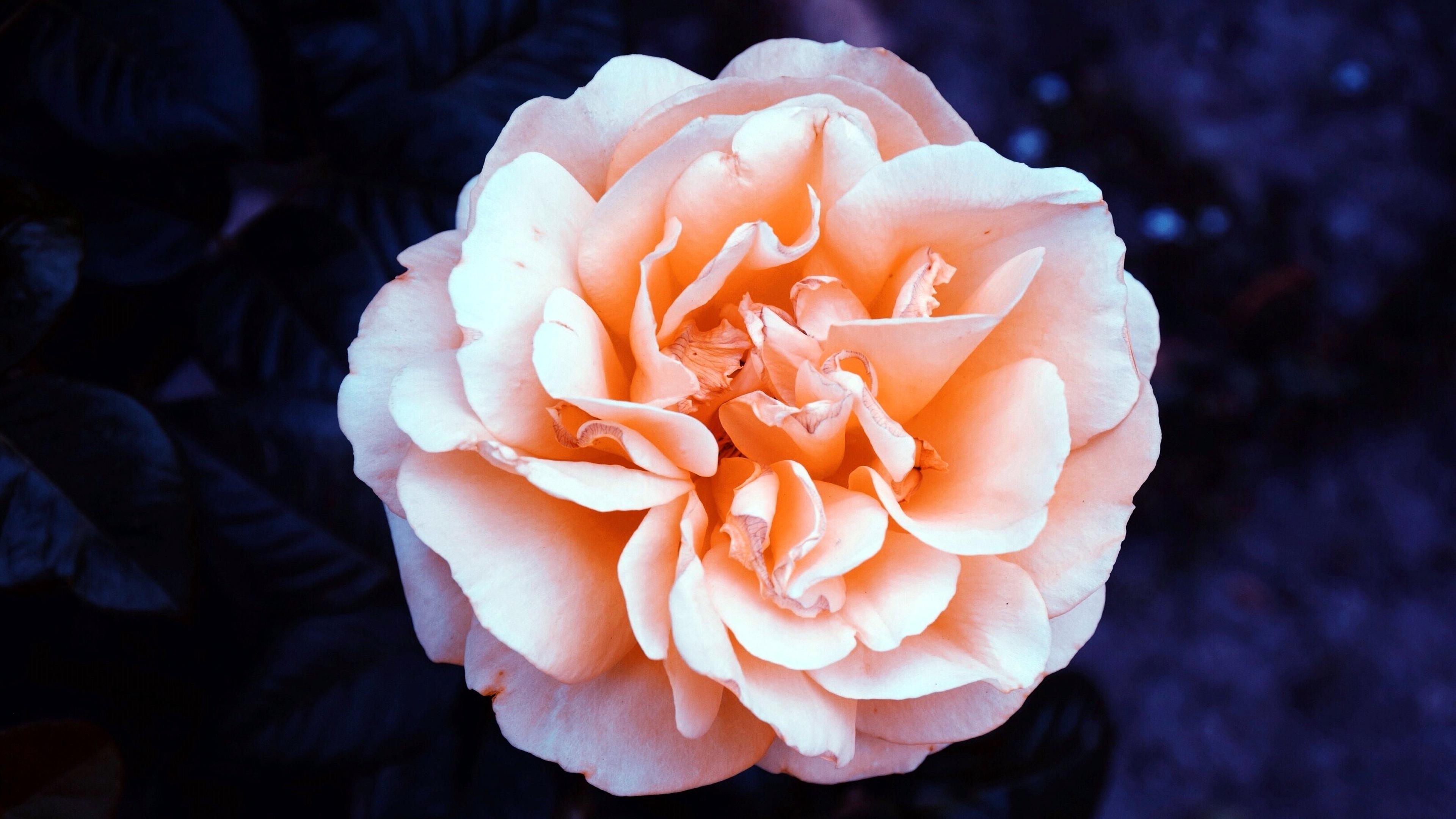 Hintergrundbilder Rosen Gemischt