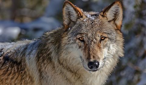 Hintergrundbilder Wölfe