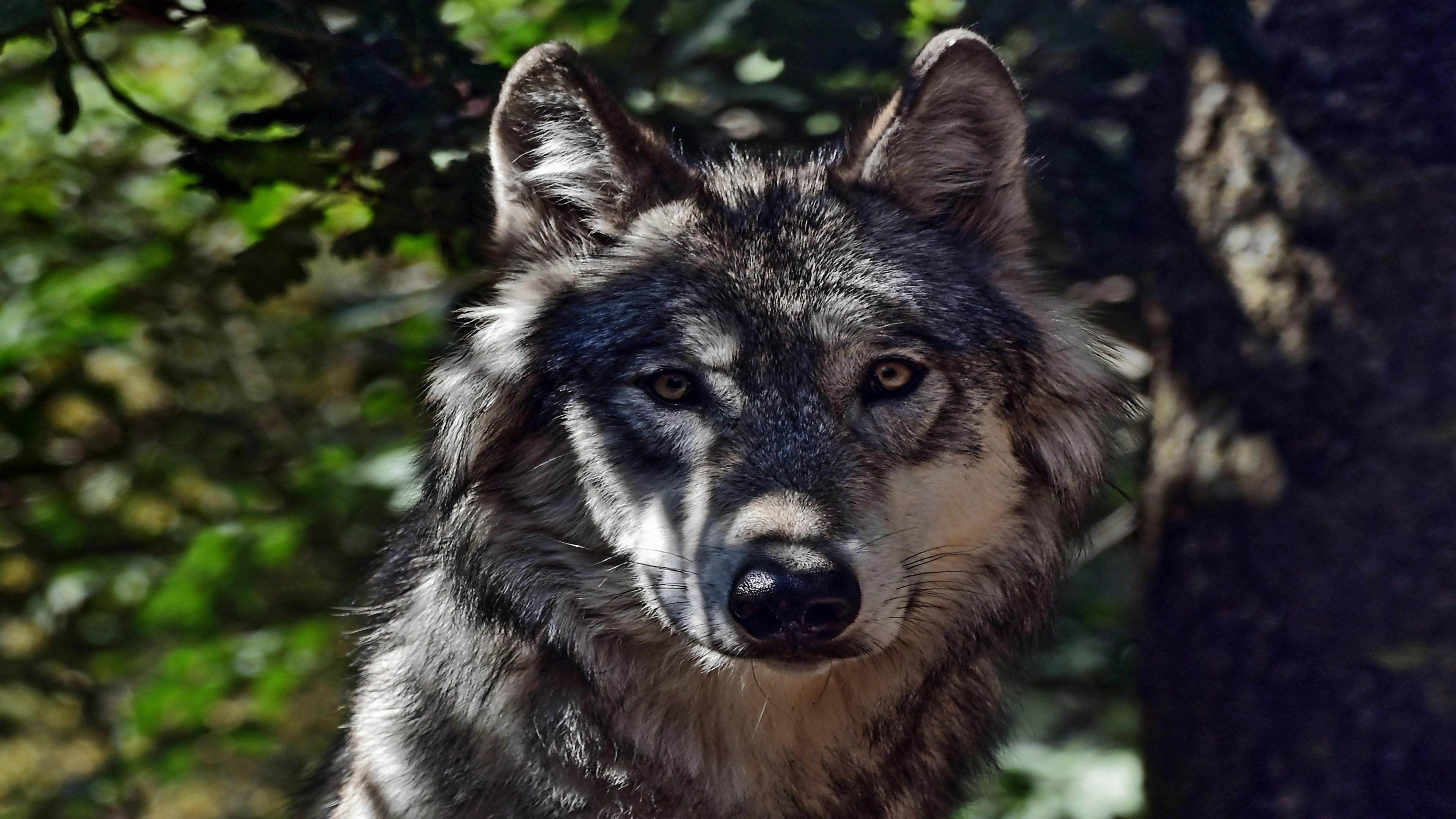 Hintergrundbild Wolf